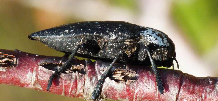 Черная златка - Capnodis tenebrionis (L.)