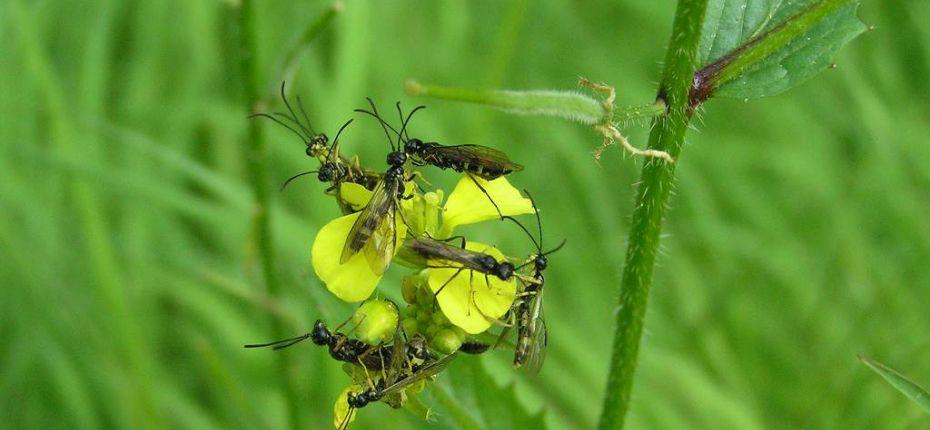 Хлебный пилильщик - Cephus pygmaeus L.