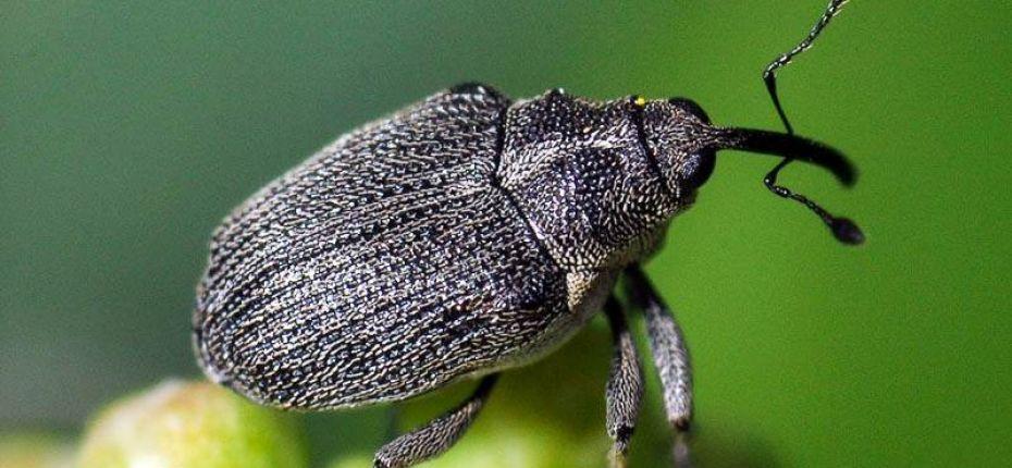 Луковый скрытнохоботник - Ceuthorrhynchus jakovlevi Schultze