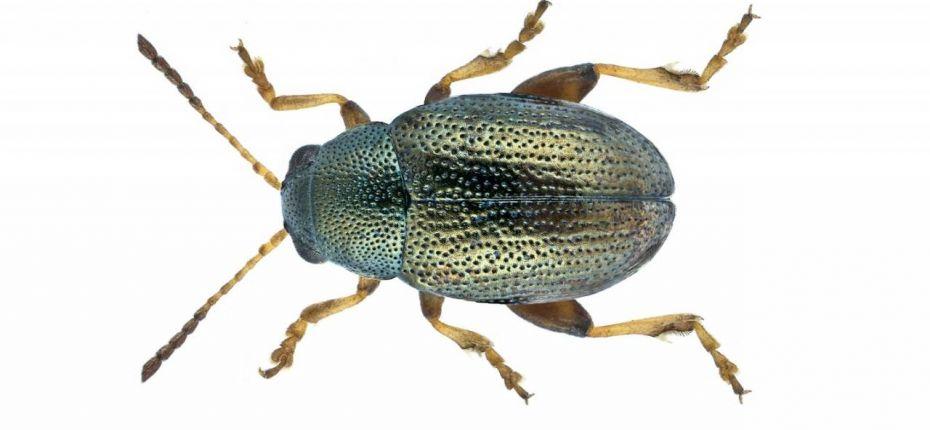 Стеблевая хлебная блошка - Chaetocnema hortensis Geoffr.