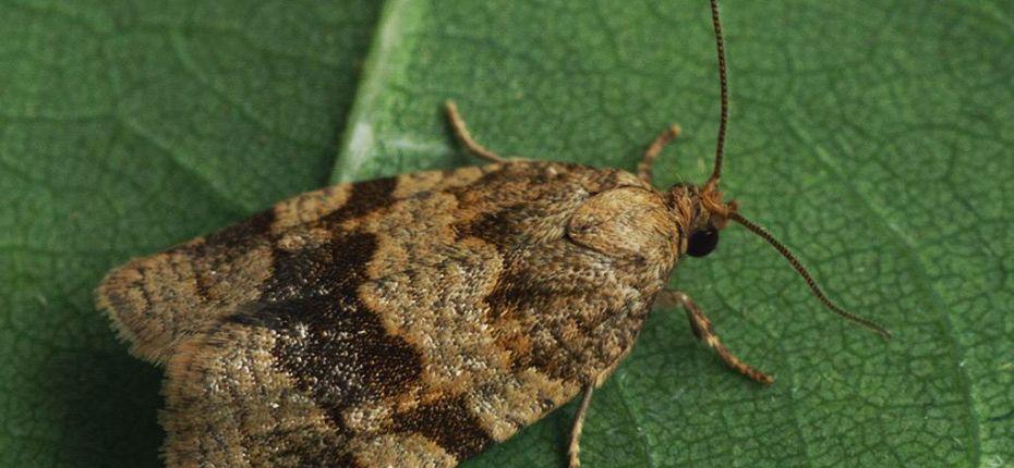 Дымчатая листовертка - Choristoneura diversana Huebner