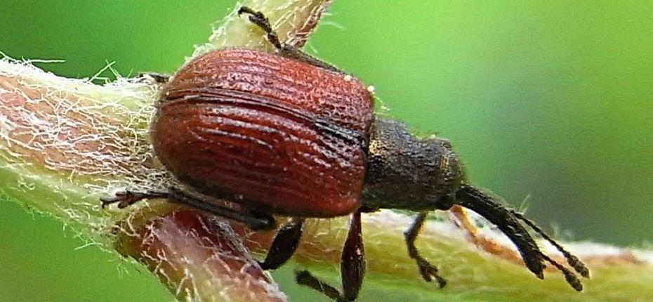 Трубковерт (слоник) боярышниковый краснокрылый - Coenorrhinus aequatus L.