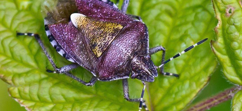 Щитник ягодный - Dolycoris baccarum L.