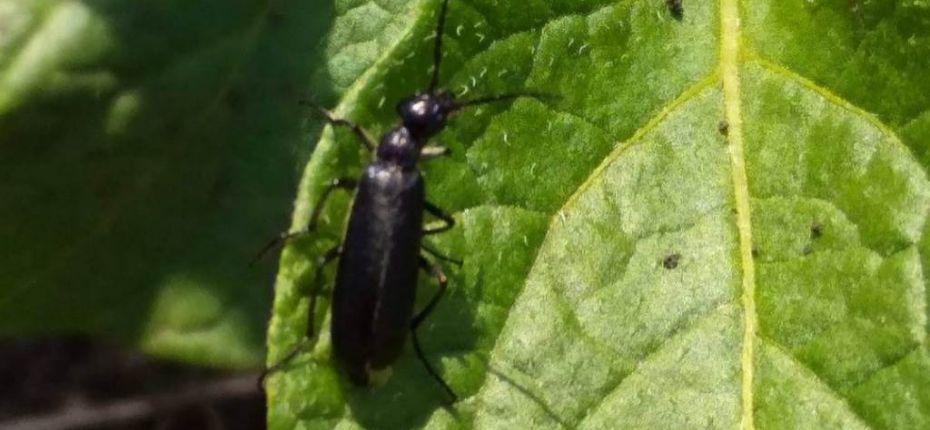 Шпанка черноголовая - Epicauta megalocephala (Gebler)