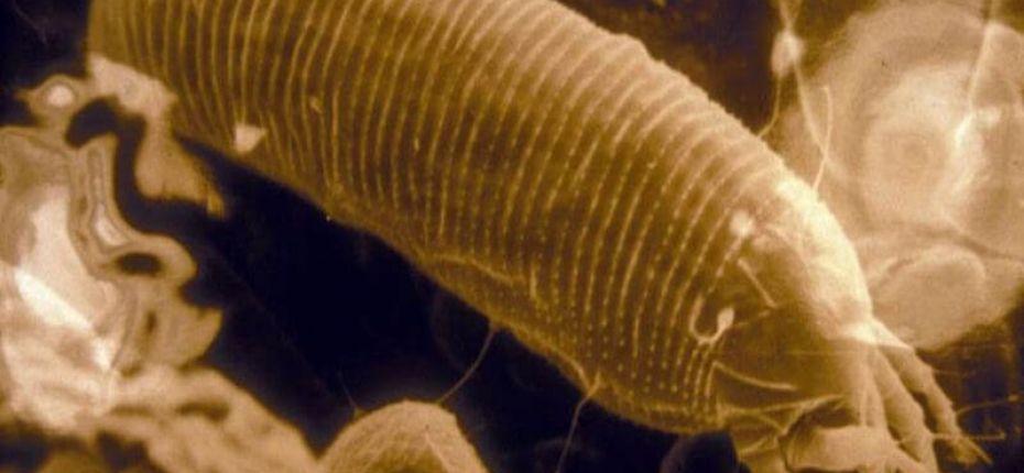 Галловый грушевый клещ - Eriophyes pyri Pagenstecher