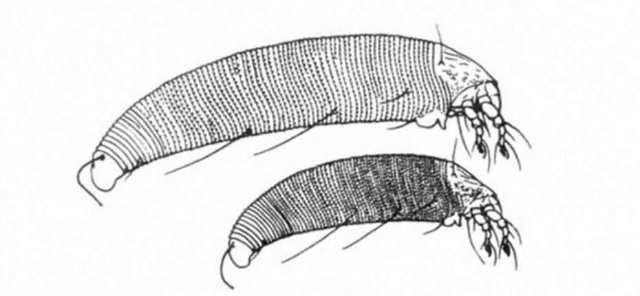 Eriophyes vitis (Pagenstecher) - Виноградный зудень