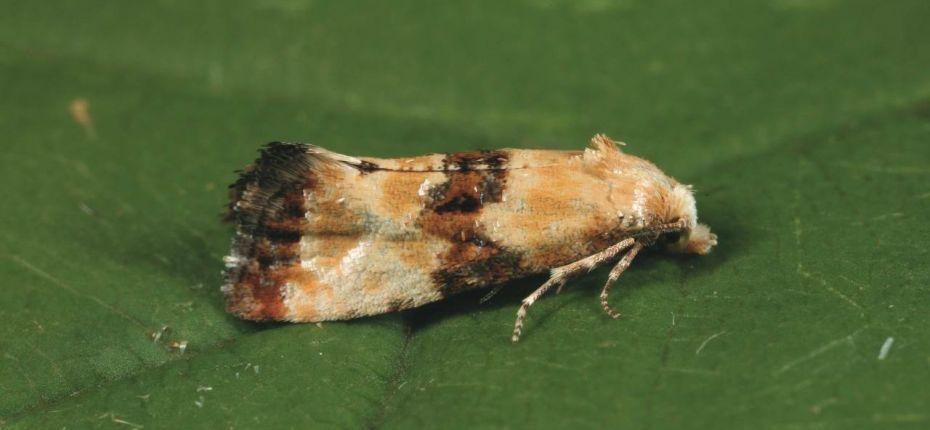 Двулётная листовертка - Eupoecilia ambiguella (Hbn.)