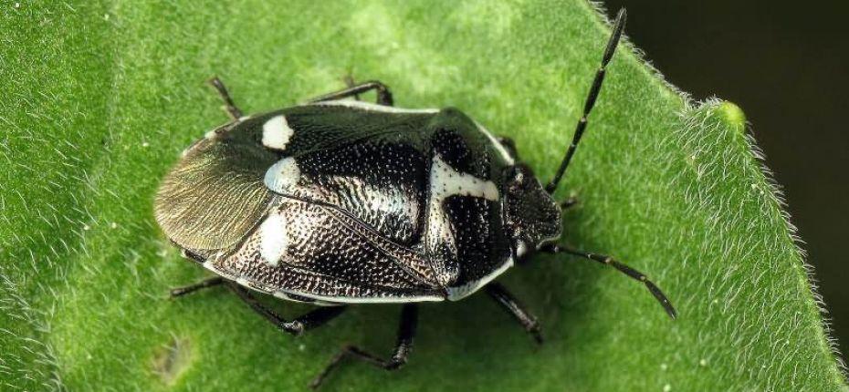 Рапсовый клоп - Eurydema oleracea L.