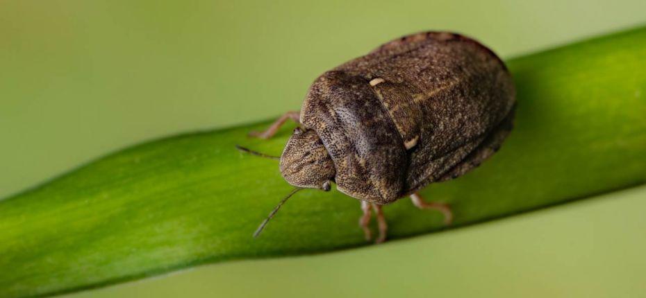 Клоп вредная черепашка - Eurygaster integriceps Puton