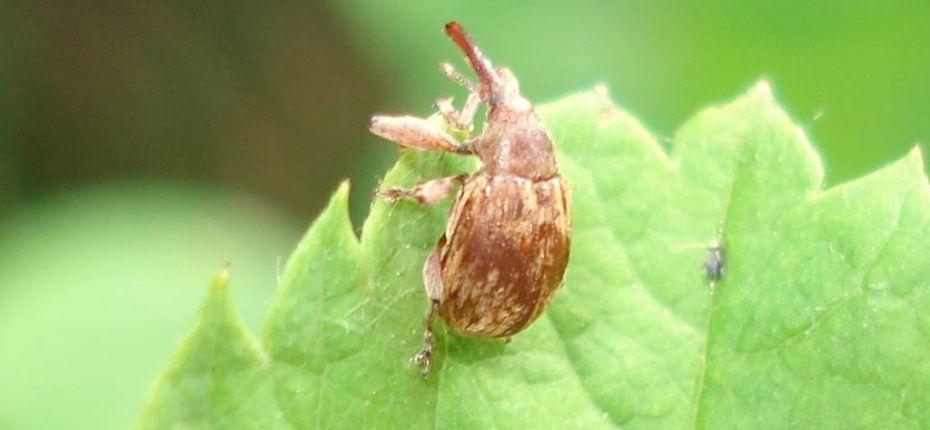 Черемуховый косточковый цветоед - Furcipus rectirostris (L)