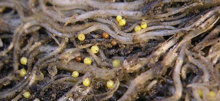 Золотистая картофельная нематода - Globodera rostochiensis Woll.