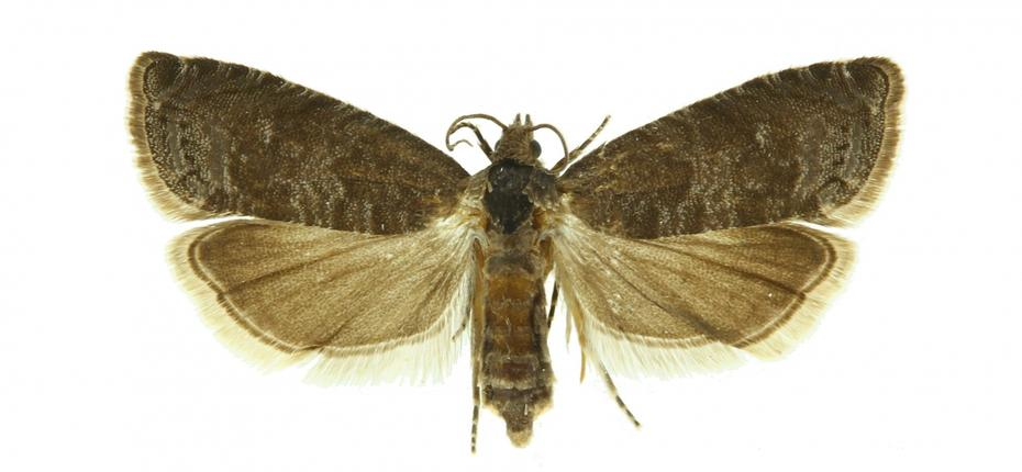 Сливовая плодожорка - Grapholitha funebrana Tr.