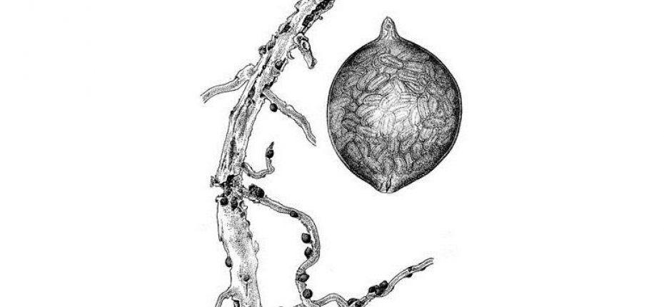 Хмелевая нематода - Heterodera humuli Filipjev