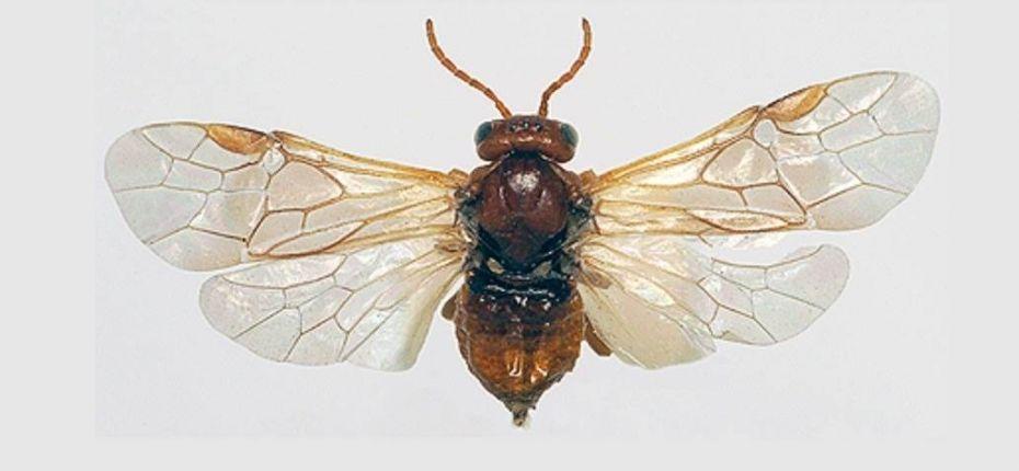 Косточковый желтый плодовый пилильщик - Hoplocampa flava L.