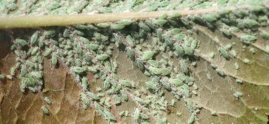 Сливовая опыленная тля - Hyalopterus pruni Geoffr.