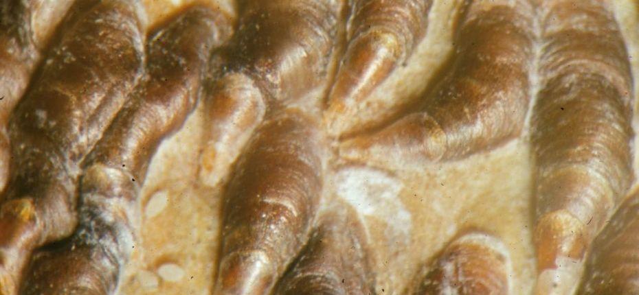 Яблоневая запятовидная щитовка - Lepidosaphes ulmi L.