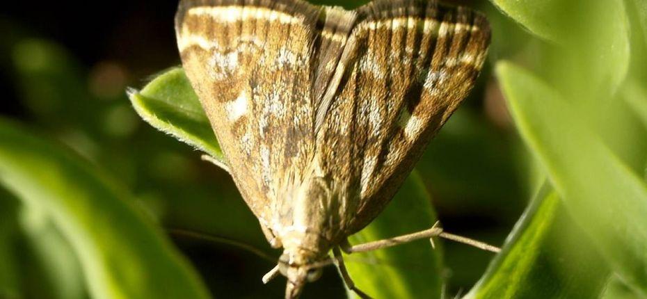 Луговой мотылек - Loxostege sticticalis L.