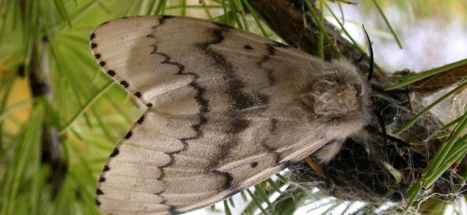 Непарный шелкопряд - Lymantria dispar(L.)