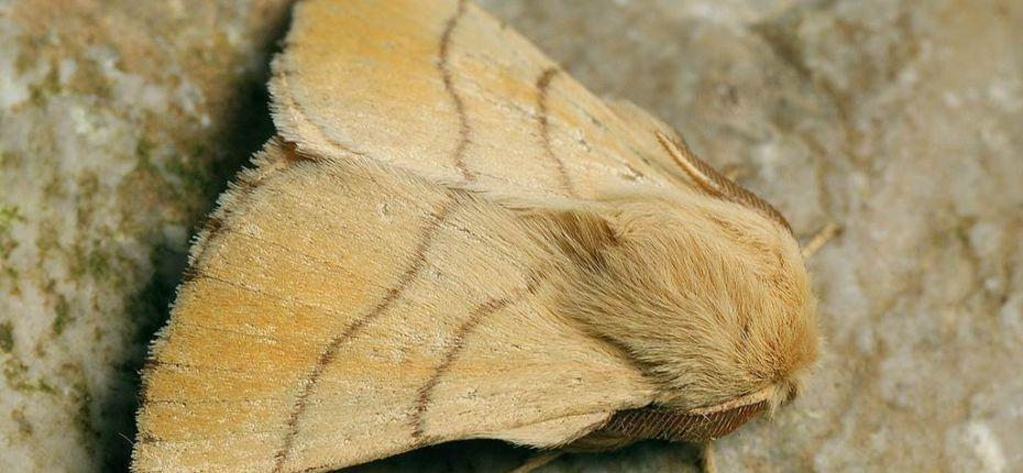 Кольчатый шелкопряд - Malacosoma neustria L.