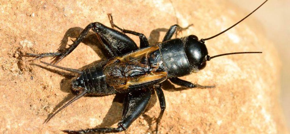 Сверчок степной - Melanogryllus desertus Pall.