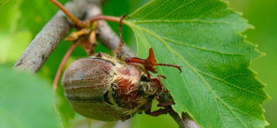 Майский восточный хрущ - Melolontha hippocastani F.