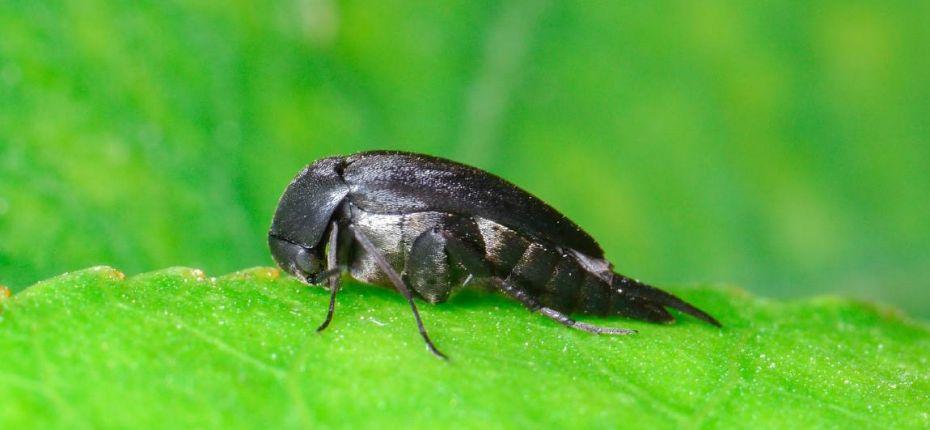 Подсолнечная шипоноска - Mordellistena parvula (Gyllenhal)