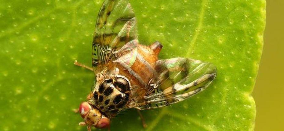Дынная муха - Myiopardalis pardalina