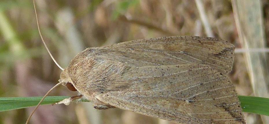 Восточная луговая совка - Mythimna separata (Wlk.)
