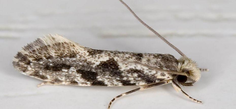 Амбарная моль - Nemapogon granella L.