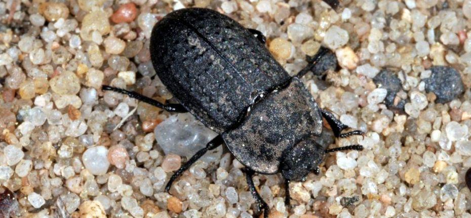 Медляк песчаный - Opatrum sabulosum (L.)
