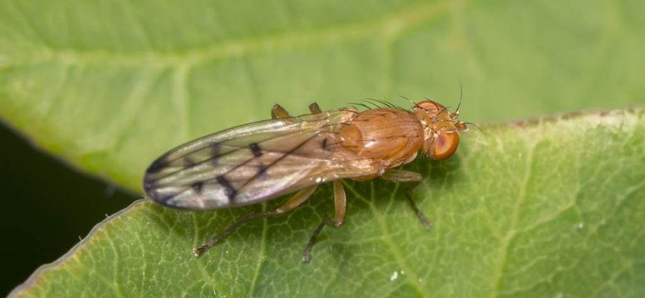 Опомиза пшеничная - Opomyza florum F.