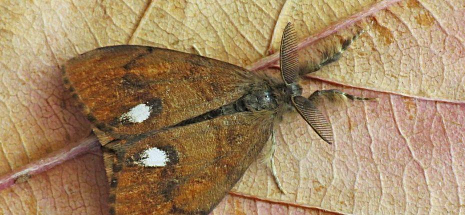 Кистехвостка обыкновенная - Orgyia antiqua L.