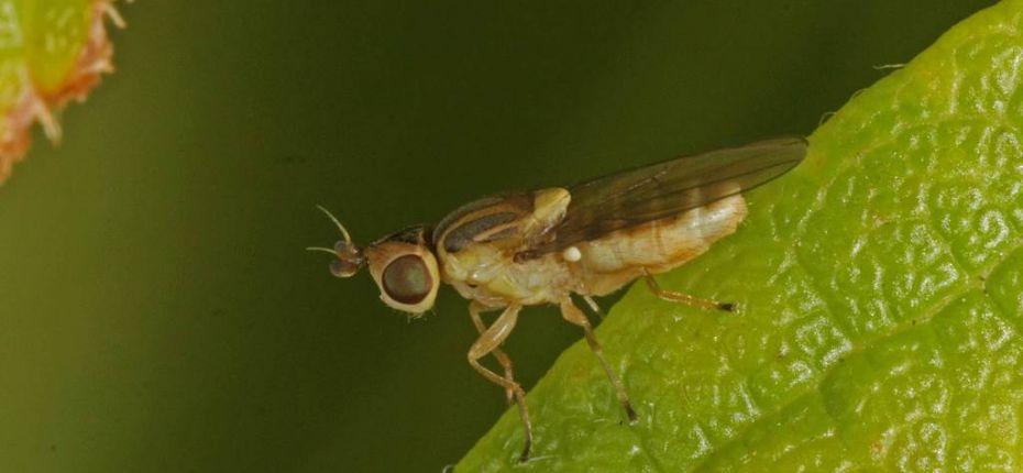 Ячменная и овсяная шведские мухи - Oscinella pusilla Mg., Oscinella frit L.