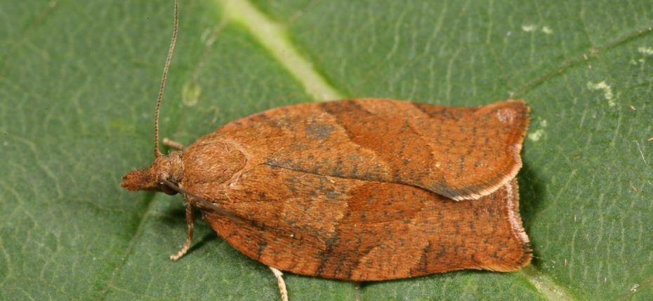 Кривоусая смородиновая листовертка - Pandemis ribeana Hbn.