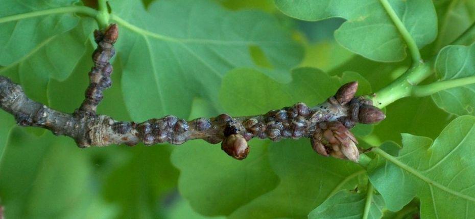Акациевая ложнощитовка - Parthenolecanium corni Bouche