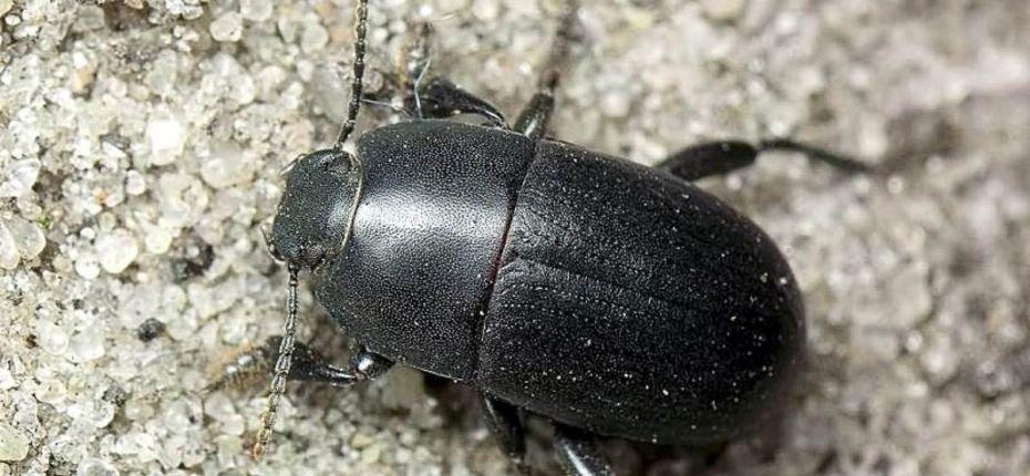 Кукурузный медляк - Pedinus femoralis L.