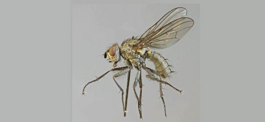 Западная свекловичная муха - Pegomyia hyosciami Panzer