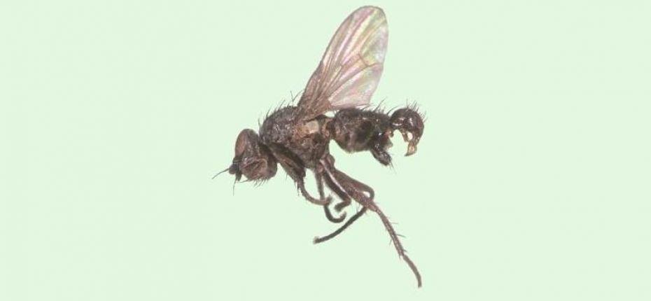 Черная пшеничная муха - Phorbia fumigata Meig.
