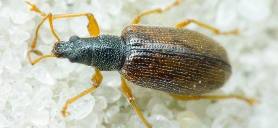 Продолговатый листовой долгоносик - Phyllobius oblongus L.