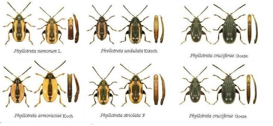 Блошки крестоцветные - Phyllotreta nemorum L., Ph. undulata Kutsch., Ph. armoraciae Koch., Ph. striolata F., Ph. atra Fabr., Ph. cruciferae Goeze., Ph. nigripes F.