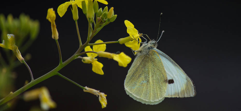 Капустная белянка - Pieris brassicae L.