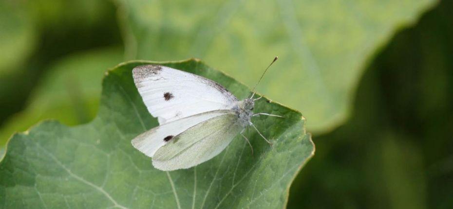 Репная белянка - Pieris rapae L.