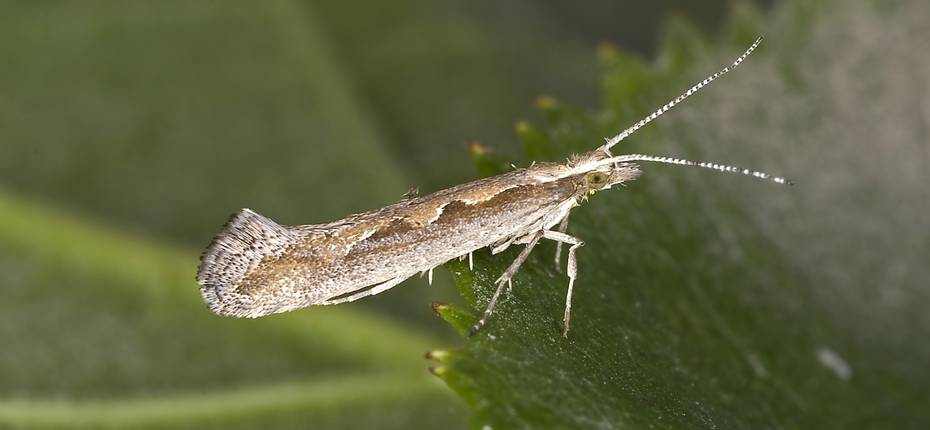 Капустная моль - Plutella maculipcnnis Curt.