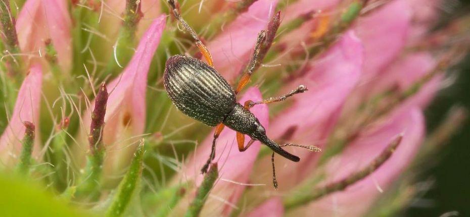 Малый клеверный семеед - Protapion trifolii (L.)