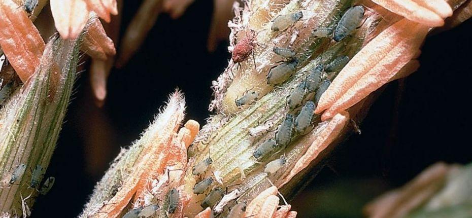 Кукурузная тля - Rhopalosiphum maidis Fitch.