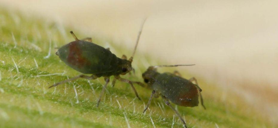 Обыкновенная черемуховая тля - Rhopalosiphum padi L.