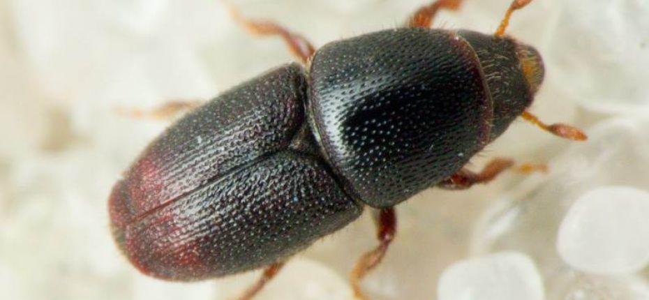 Морщинистый заболонник - Scolytus rugulosus (Muell.)