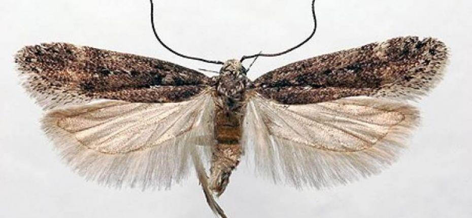 Свекловичная минирующая моль - Scrobipalpa ocellatella (Boyd)