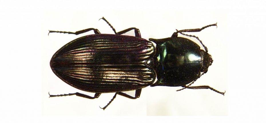 Щелкун сибирский - Selatosomus spretus Mannh.
