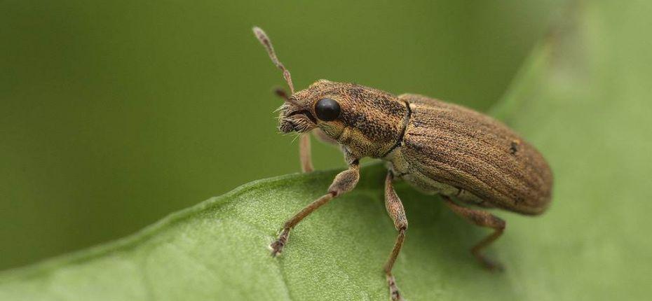 Полосатый клубеньковый долгоносик - Sitona lineatus L.